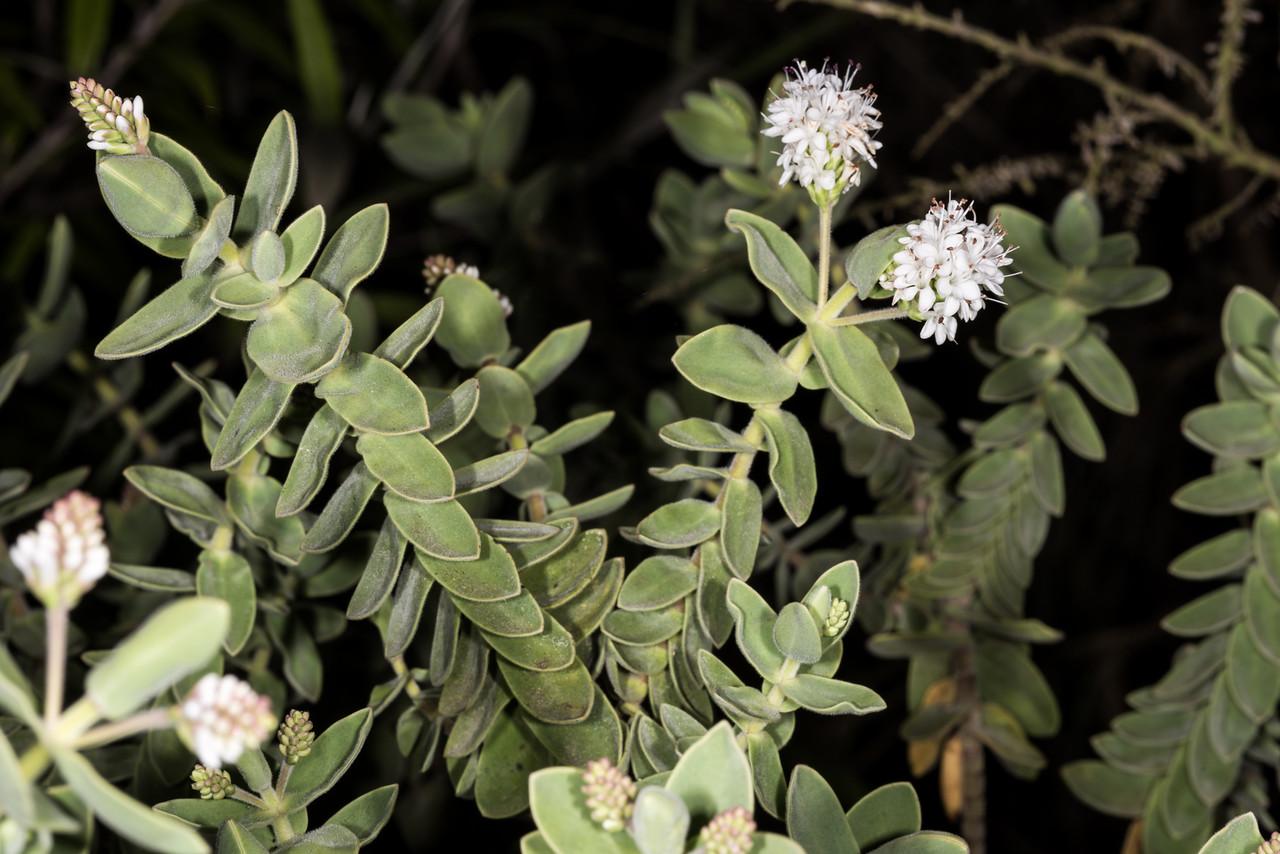 Hebe amplexicaulis f. hirta. Dunedin Botanic Garden.