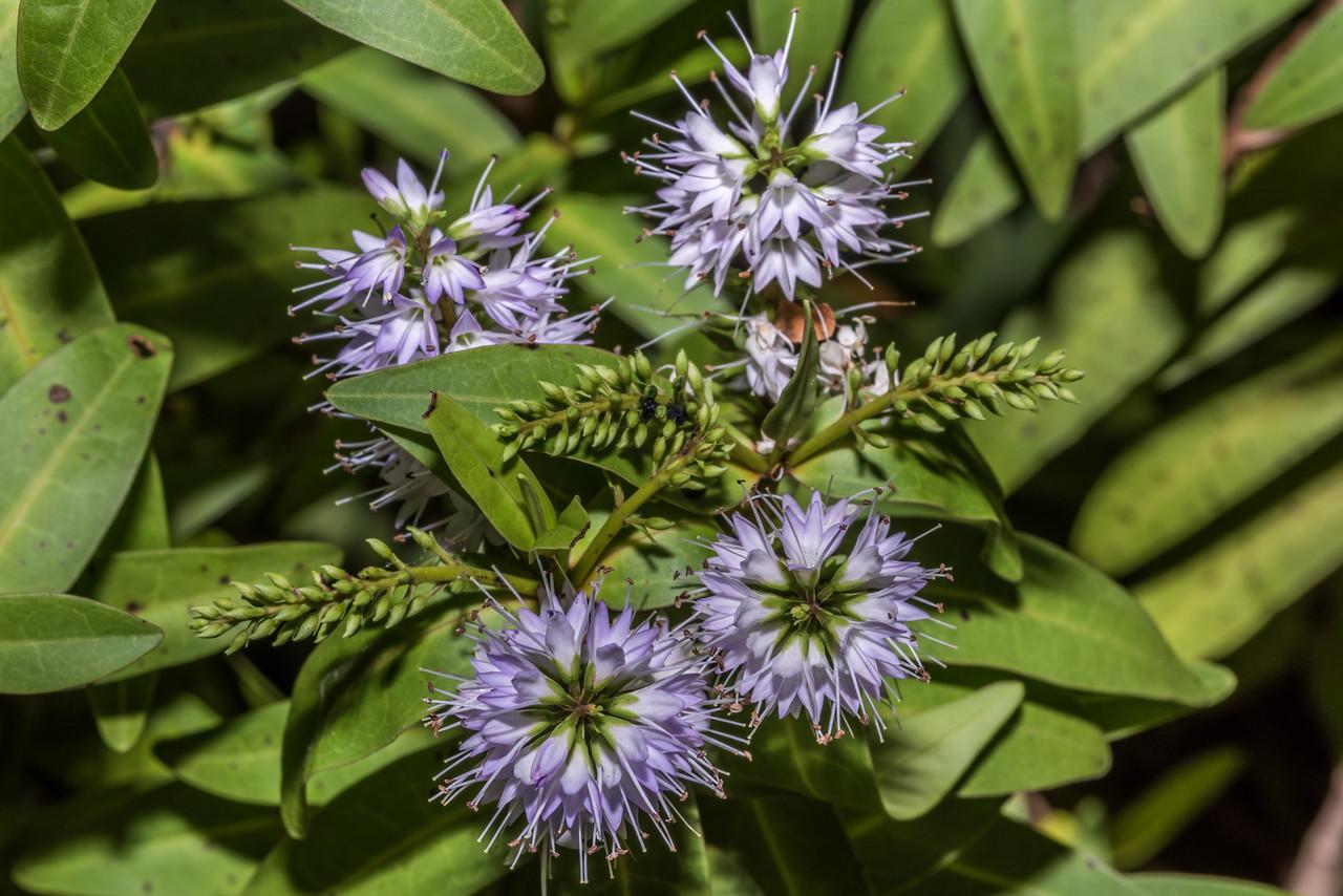 Hebe insularis. Dunedin Botanic Garden.