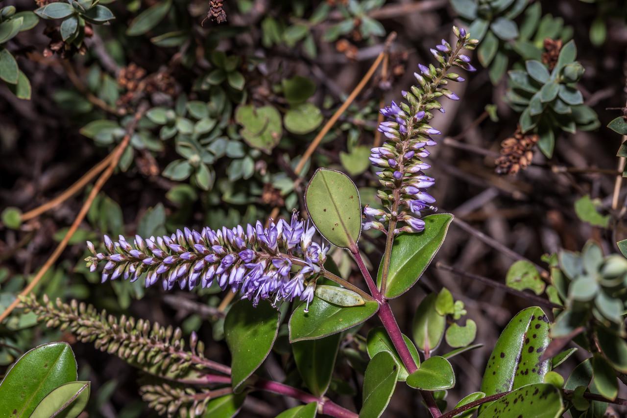 Hebe obtusata. Dunedin Botanic Garden.