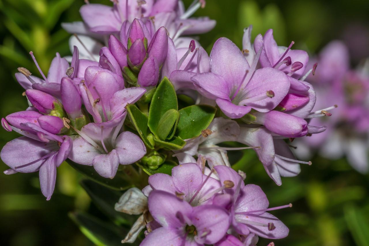 Hebe odora, garden variety. Opoho, Dunedin.