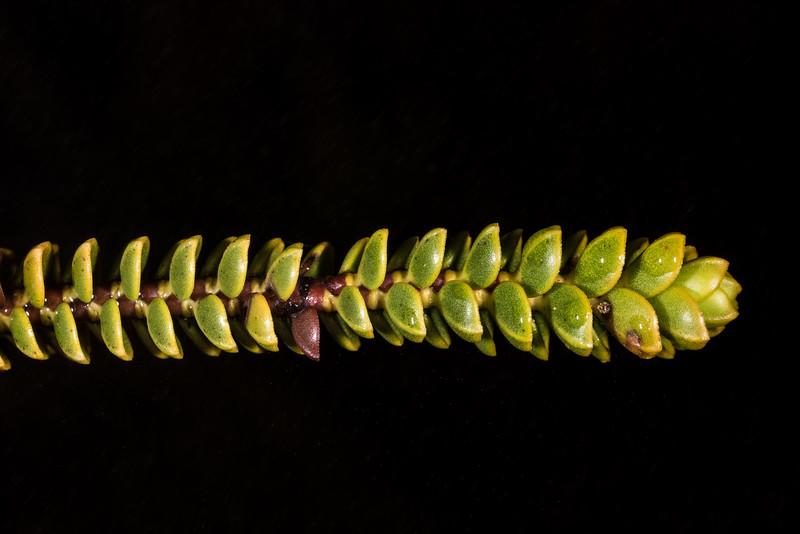 Hebe pauciramosa. Luxmore Hut, Kepler Track, Fiordland National Park.
