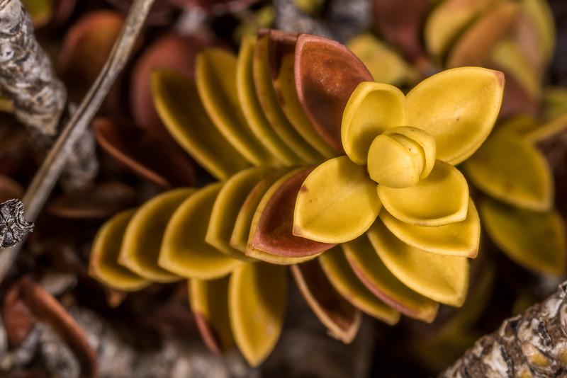 Hebe pauciramosa. Mount Luxmore, Fiordland National Park.