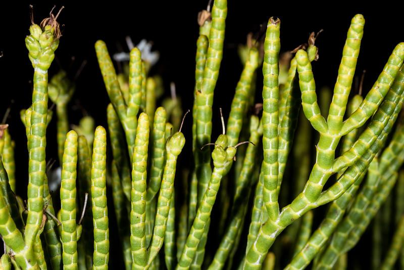 Whipcord hebe (Hebe salicornioides). Dunedin Botanic Garden.