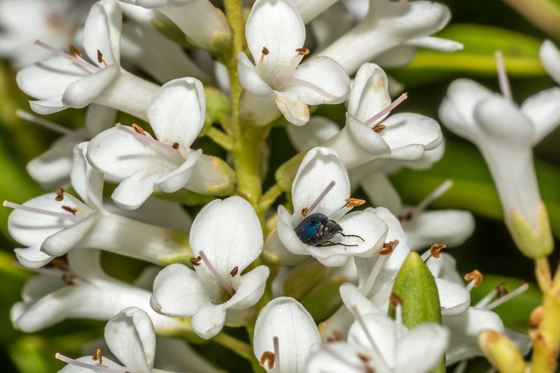 A small flower longhorn beetle feeds on Hebe traversii flowers. Mount Fyffe, Kaikoura