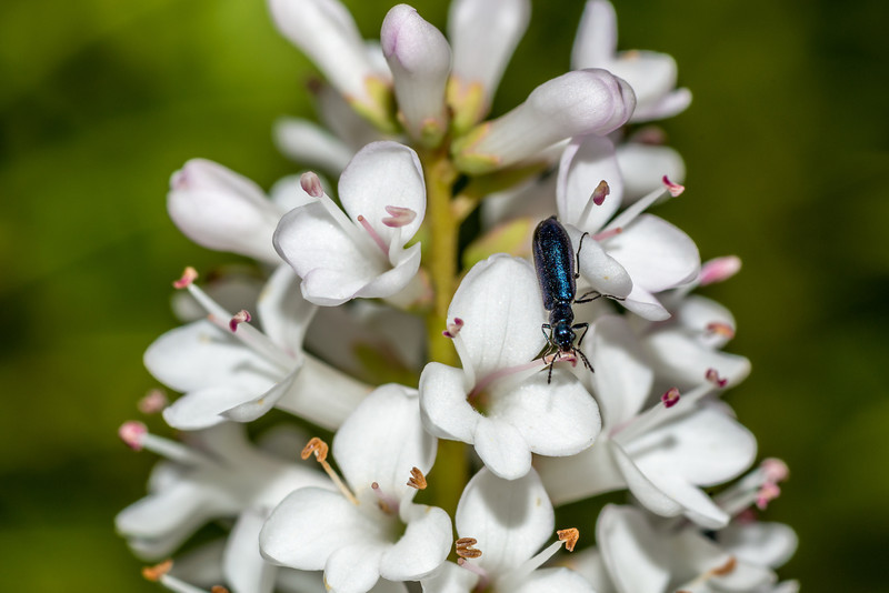 A small soft-winged flower beetle (family Melyridae) feeds on Hebe traversii flowers. Mount Fyffe, Kaikoura.