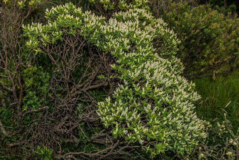 Hebe venustula. Mount Fyffe, Kaikoura