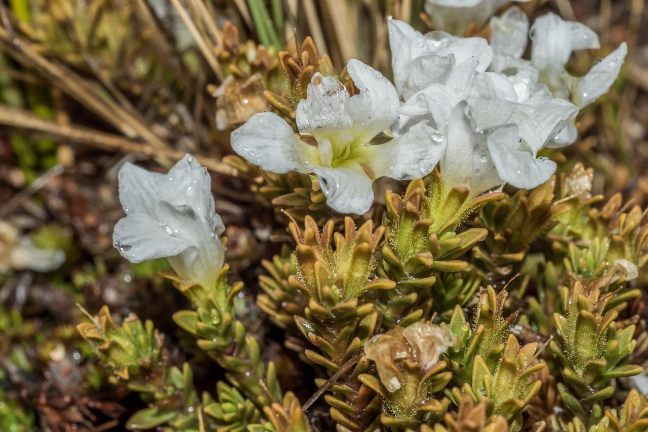 Hebejeebie densifolia. Nevis Burn, Hector Mountains