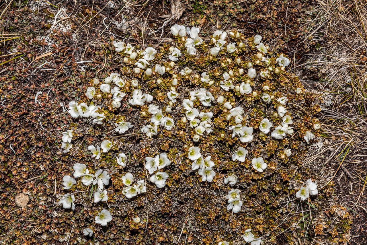 Hebejeebie densifolia. Schoolhouse Creek, Hector Mountains