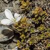 Hebejeebie densifolia. Sentinel Peak, Lake Hawea.