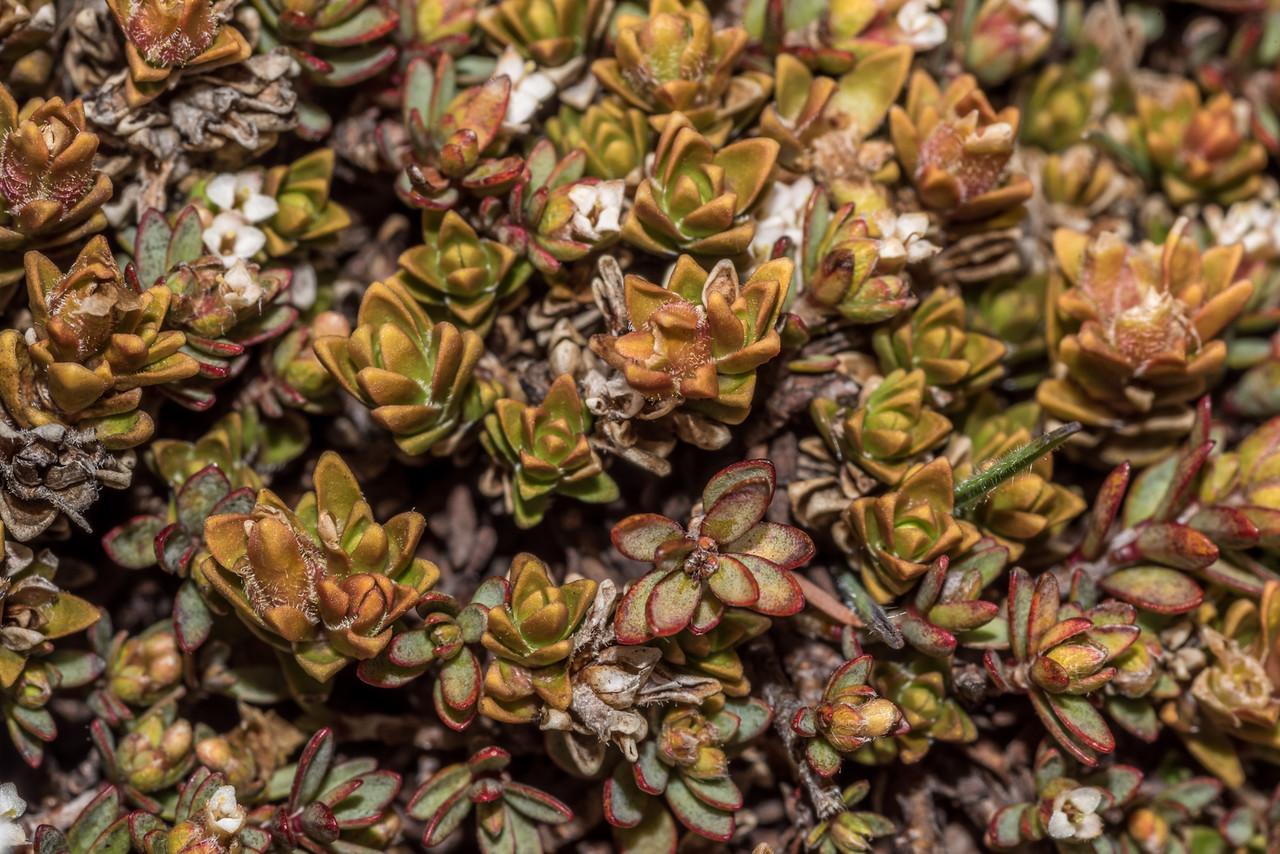 Hebejeebie densifolia, mixed with Pimelea notia flowers. Schoolhouse Creek, Hector Mountains.