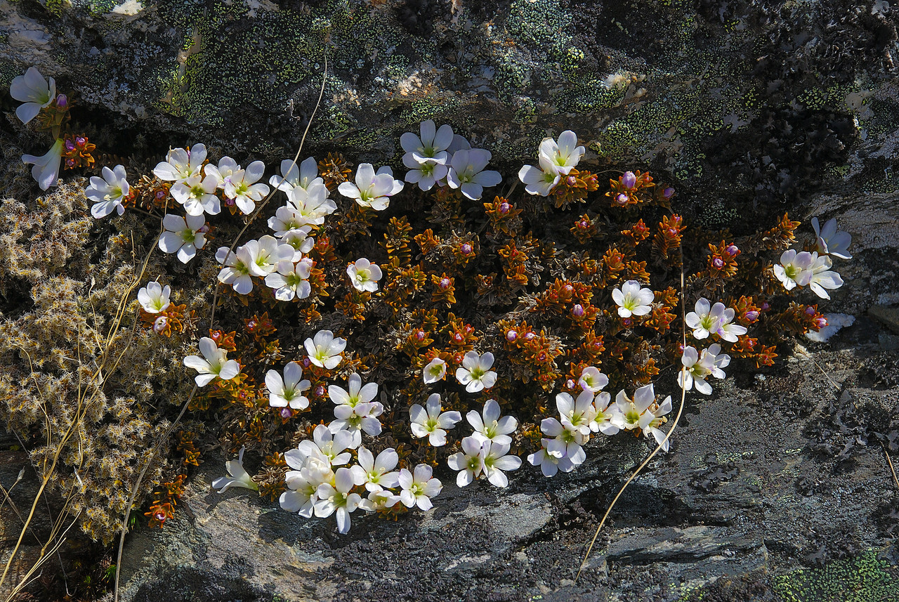 Hebejeebie densifolia. Mt Judah summit, Lake Wakatipu