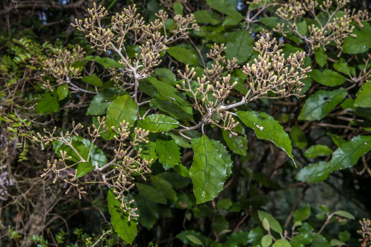 Heketara (Olearia rani). Pt 386m north of Pigeon Saddle, Abel Tasman National Park.
