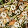 Inanga (Dracophyllum longifolium). Gertrude Valley, Fiordland National Park.