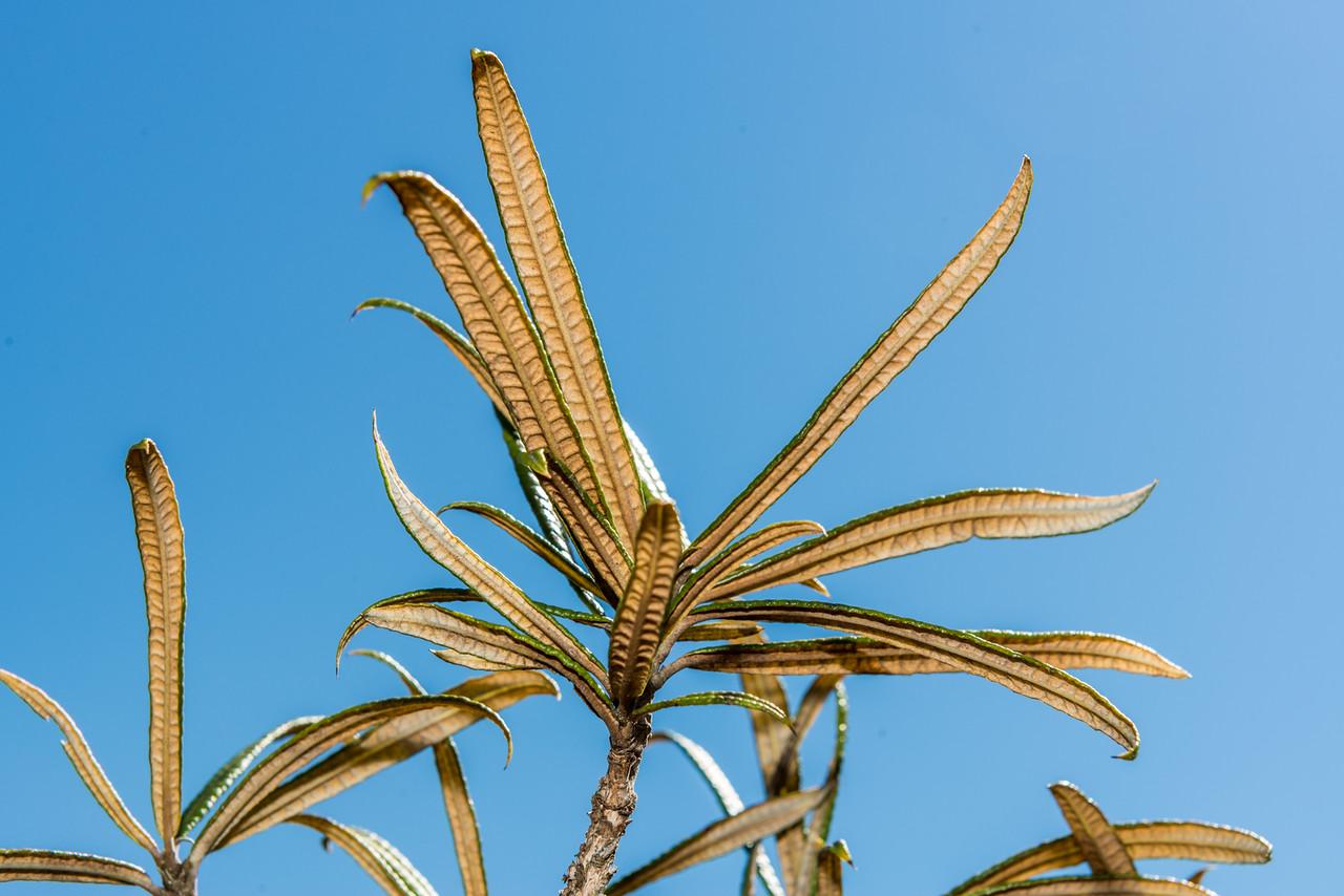 Lancewood tree daisy (Olearia lacunosa). Moa Park, Abel Tasman National Park.