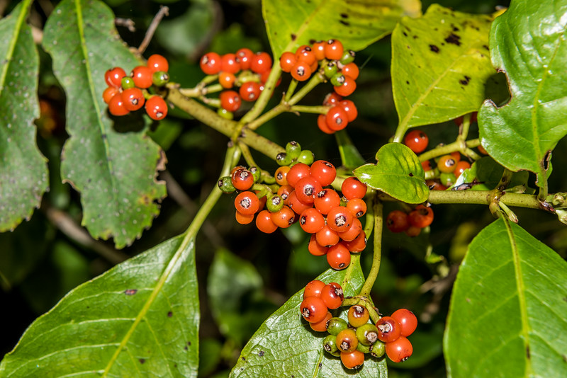 Large-leaved coprosma / raurēkau (Coprosma grandifolia). Hapuku Hut, Hapuku River, Seaward Kaikoura Range.