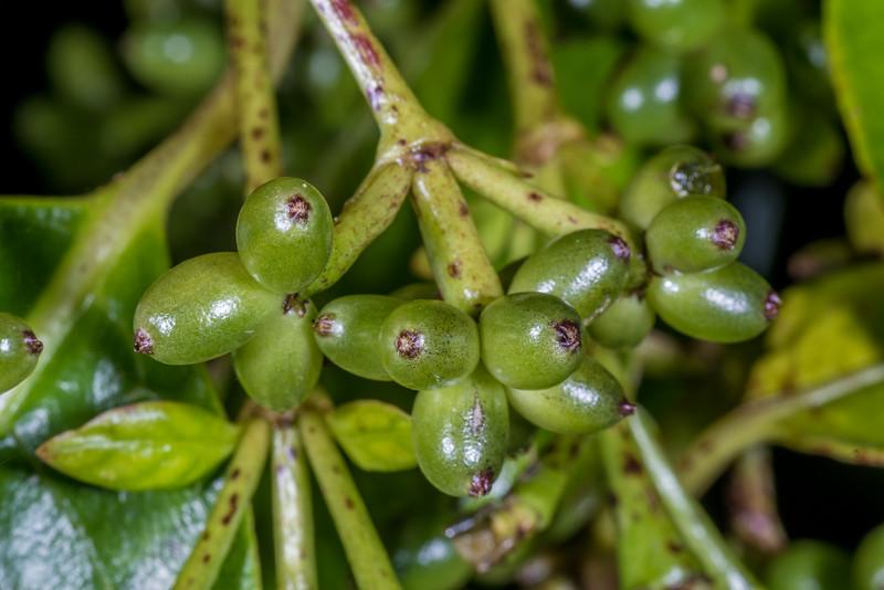 Large-leaved coprosma / raurēkau (Coprosma grandifolia). Whariwharangi Bay, Abel Tasman National Park.