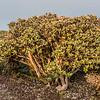 Leatherwood / tupare (Olearia colensoi). Manuoha, Te Urewera National Park.