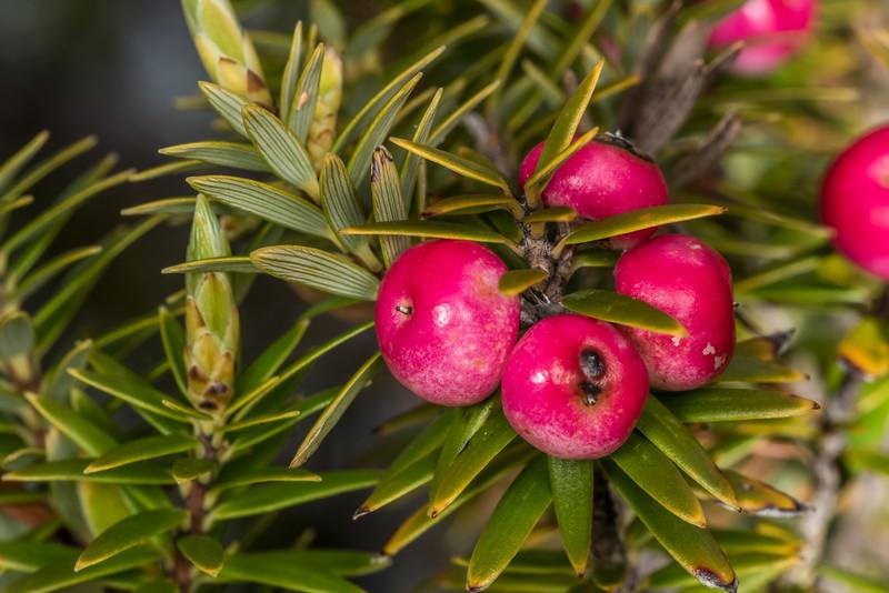 Chatham Island mingimingi / pouteretere (Leptecophylla robusta). Rangaika Scenic Reserve, Chatham Island.
