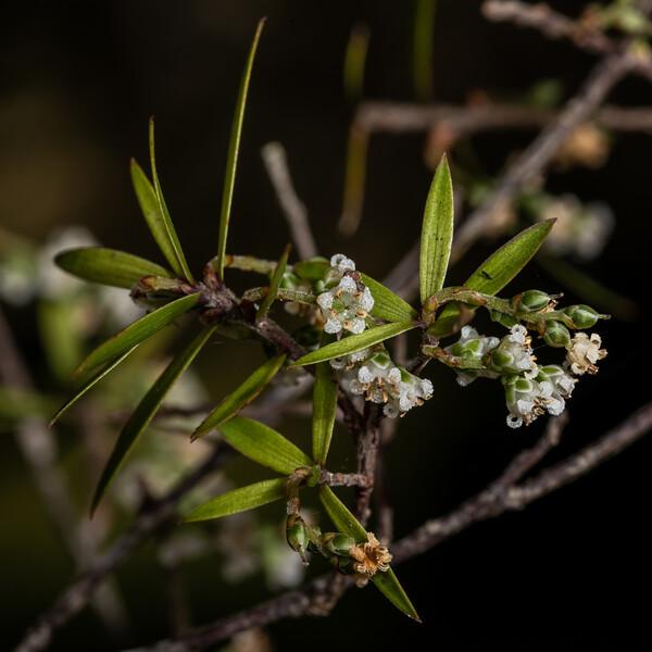 Tall mingimingi (Leucopogon fasciculatus). Nydia campsite, Nydia Bay, Marlborough Sounds.