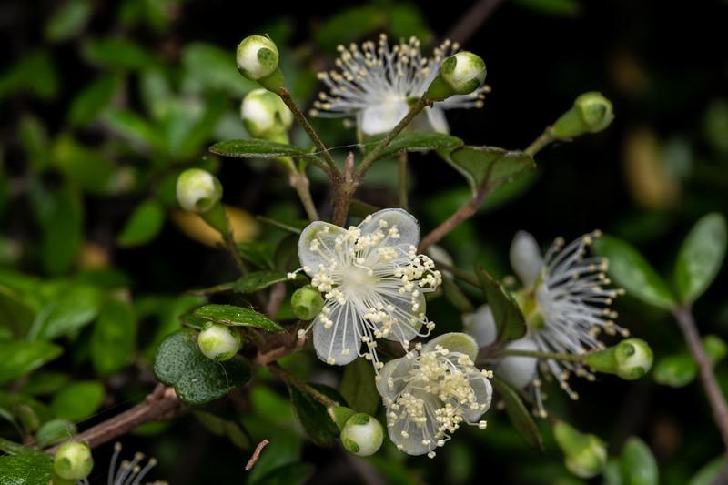 Rōhutu / New Zealand myrtle (Lophomyrtus obcordata). Travis Wetland, Christchurch.
