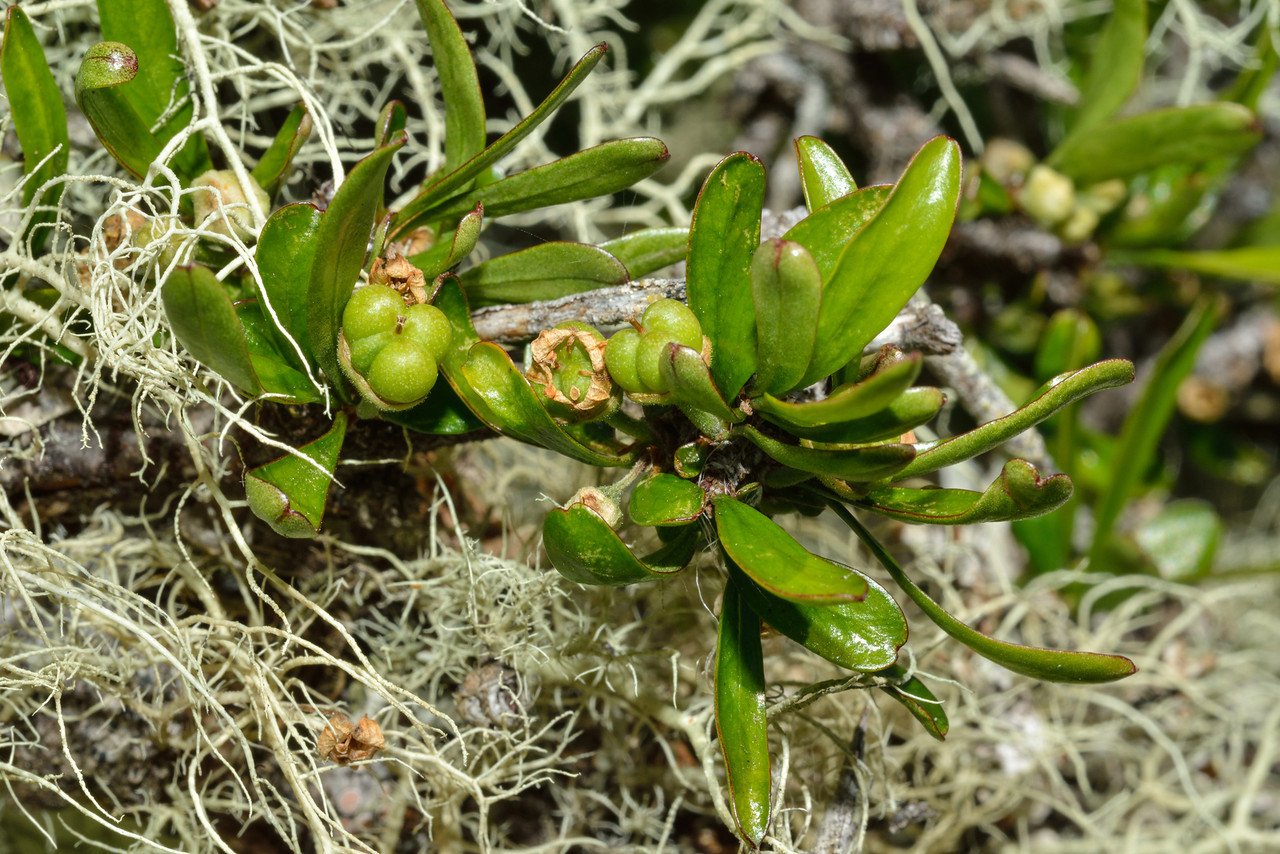 Matagouri / Wild Irishman (Discaria toumatou) leaves and fruit. Mid Caples Hut, Caples River