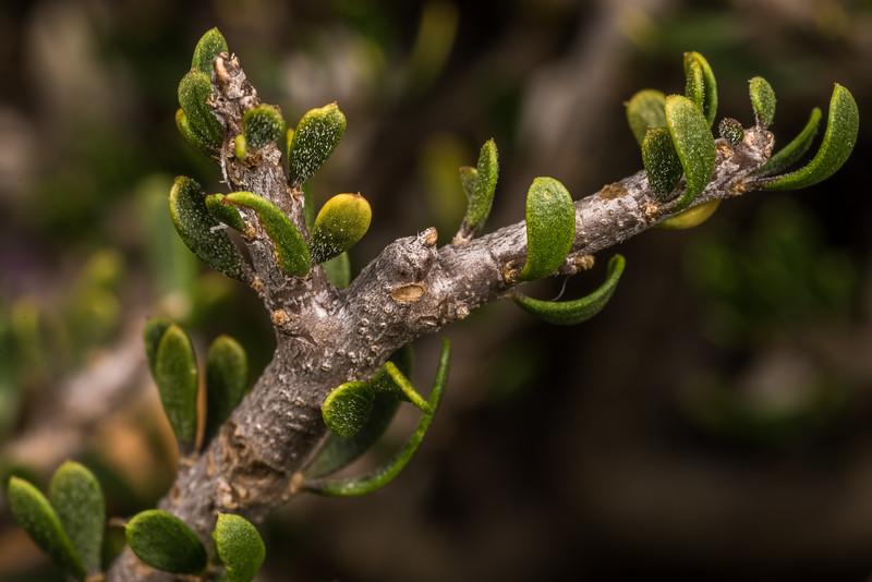 Porcupine shrub (Melicytus alpinus). Butchers Dam, Alexandra, Central Otago.