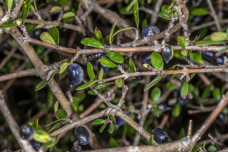 Mingimingi (Coprosma propinqua). Heyward Point, Dunedin