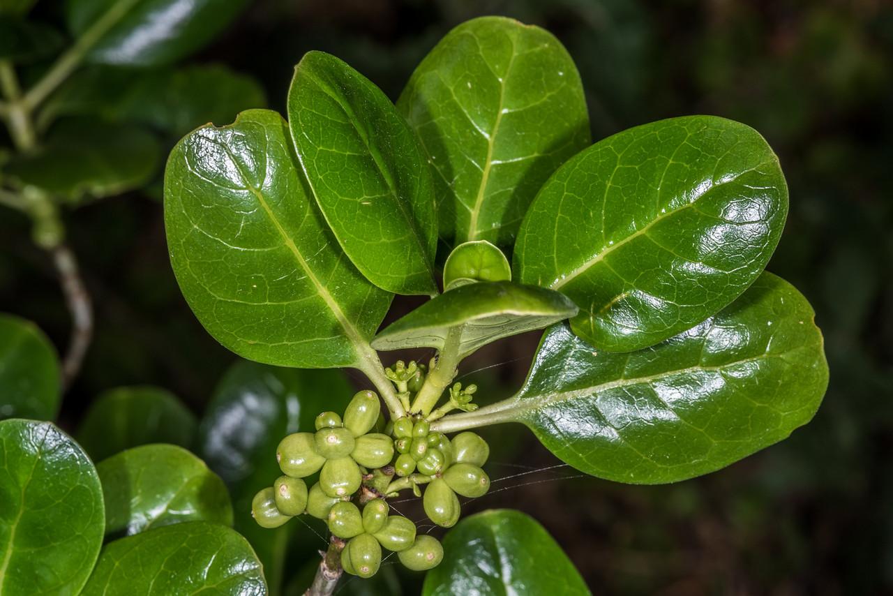 Mirror plant / taupata (Coprosma repens). Tomahawk Track, Dunedin.