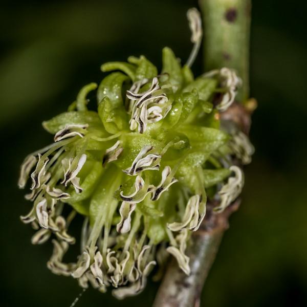 Mirror plant / taupata (Coprosma repens) flower. Tomahawk Track, Dunedin.