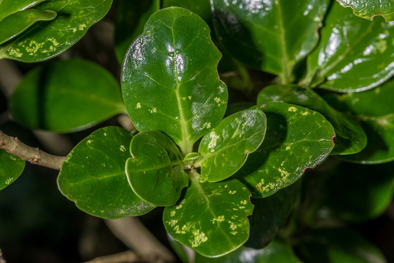 Mirror plant / taupata (Coprosma repens). Sandfly Bay, Otago Peninsula