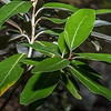 Mountain akeake (Olearia avicenniifolia), Greenstone River