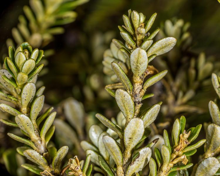 Mountain cottonwood / tauhinu (Ozothamnus vauvilliersii). Mount Arthur, Kahurangi National Park.