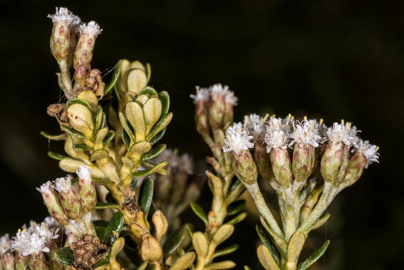 Mountain cottonwood / tauhinu (Ozothamnus vauvilliersii). Iris Burn, Kepler Track, Fiordland National Park.