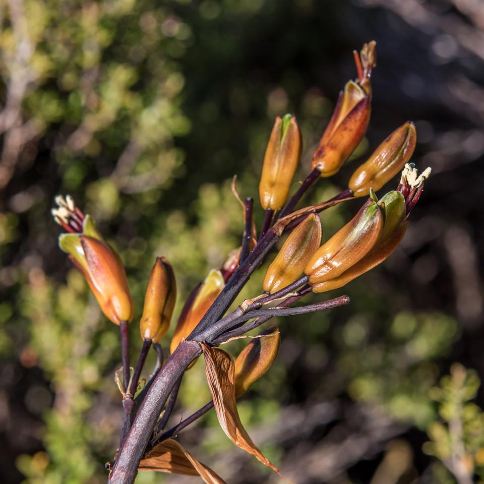 Mountain flax / wharariki (Phormium cookianum). Gouland Downs, Heaphy Track, Kahurangi National Park.