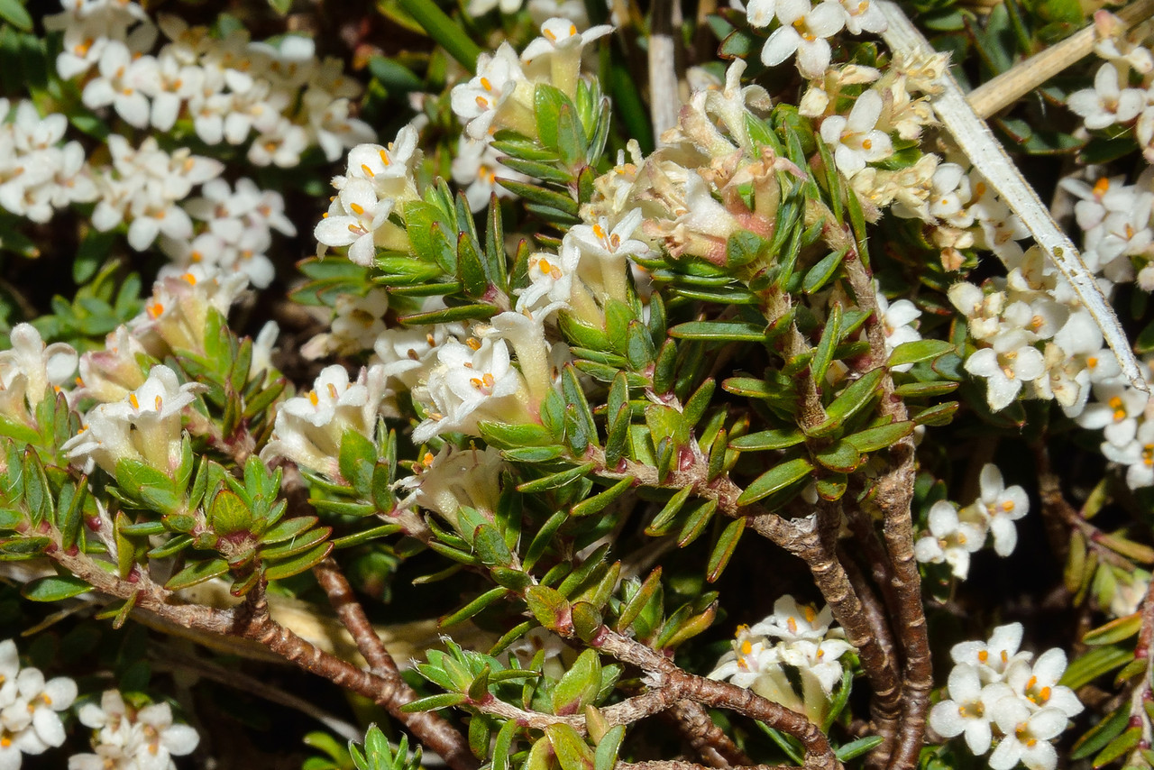 Mountain pinātoro (Pimelea oreophila). Key Dome, Mount Aspiring NP