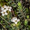 Mountain pinātoro (Pimelea oreophila ssp. hetera). Mount Arthur, Kahurangi National Park.