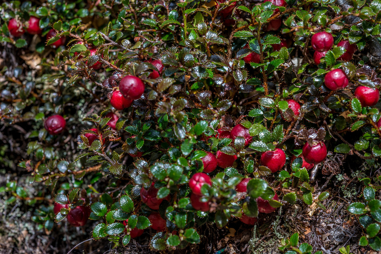 Snowberry (Gaultheria depressa var. depressa). Green Lake