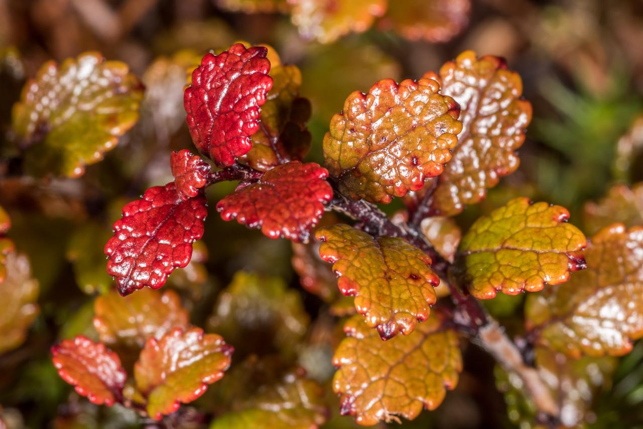 Mountain snowberry (Gaultheria depressa). Manuoha, Te Urewera National Park.