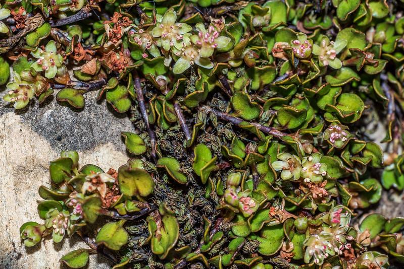 Creeping muehlenbeckia / creeping pōhuehue (Muehlenbeckia axillaris). Ellis Basin, Arthur Range, Kahurangi National Park.