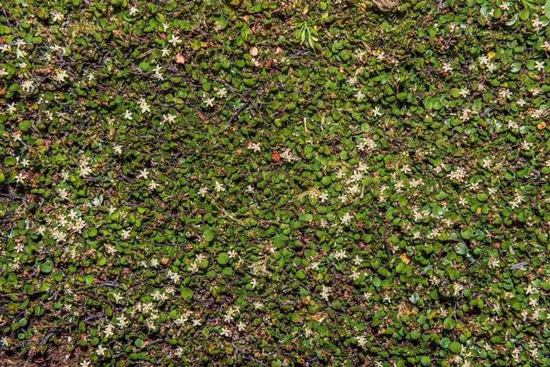Creeping muehlenbeckia / creeping pōhuehue (Muehlenbeckia axillaris). Raspberry Flat, Matukituki River West Branch.