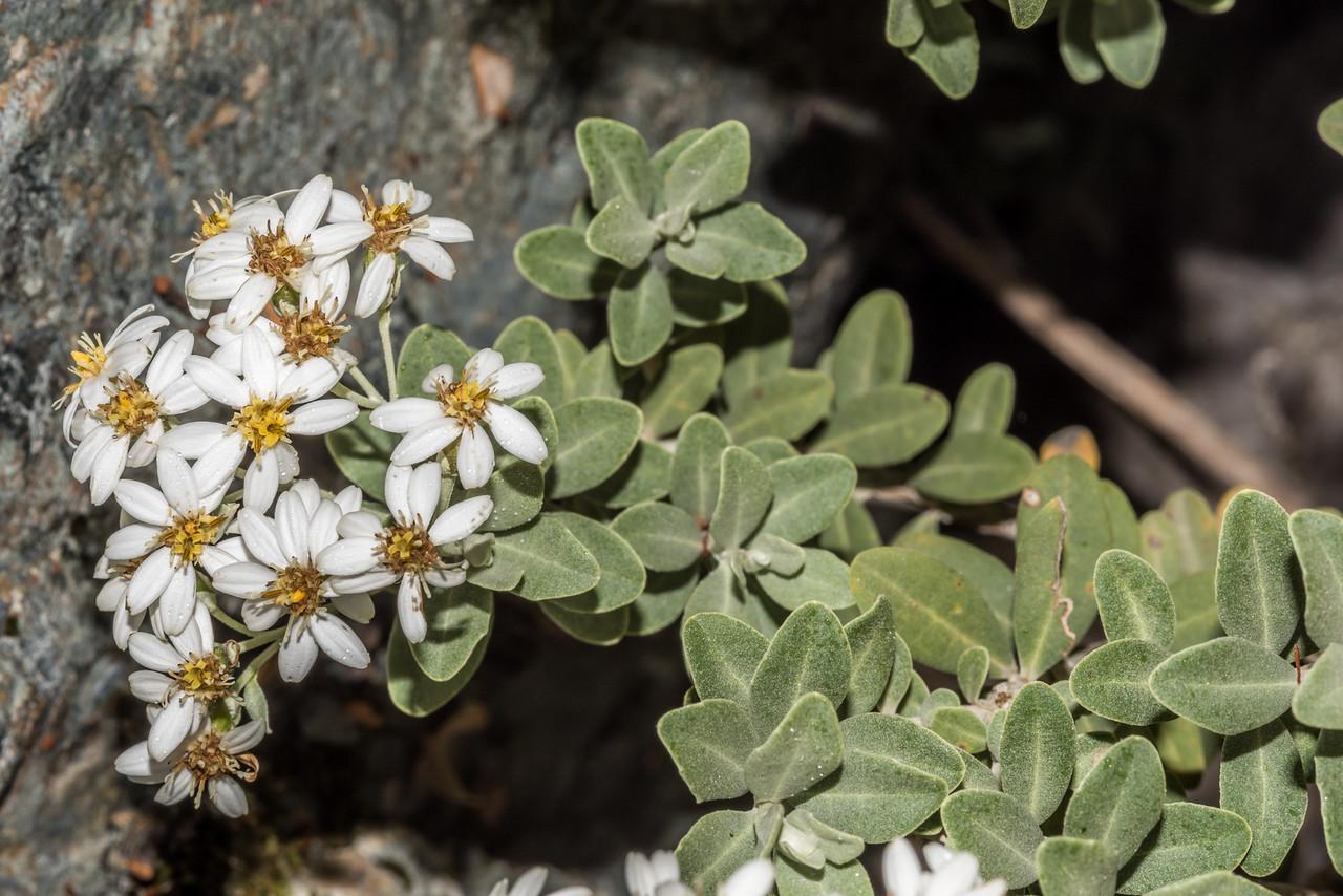 Musky tree daisy (Olearia moschata). Emily Creek, Routeburn.