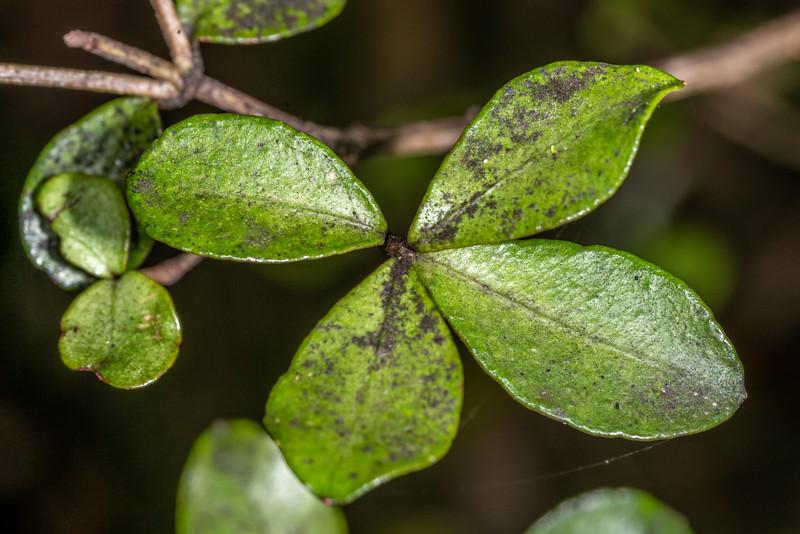 Rōhutu (Neomyrtus pedunculata). George Sound, Fiordland National Park.