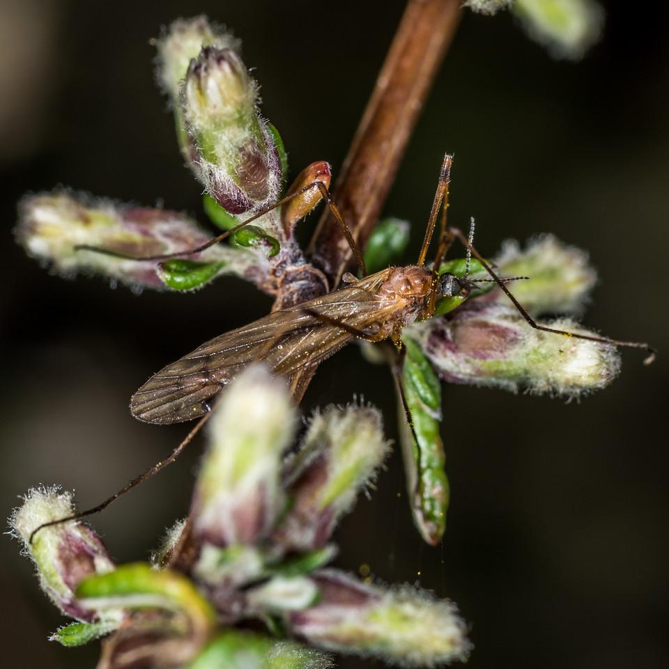 Crane fly (Family Limoniidae) on Olearia bullata. Dunedin. Botanic Garden.