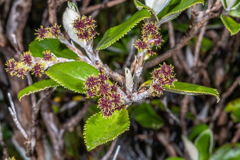 Leatherwood (Olearia colensoi). <br /> Buckland Peaks, Paparoa Range.