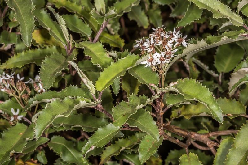 Mountain holly / hakeke (Olearia ilicifolia). Seaforth River, Fiordland National Park.