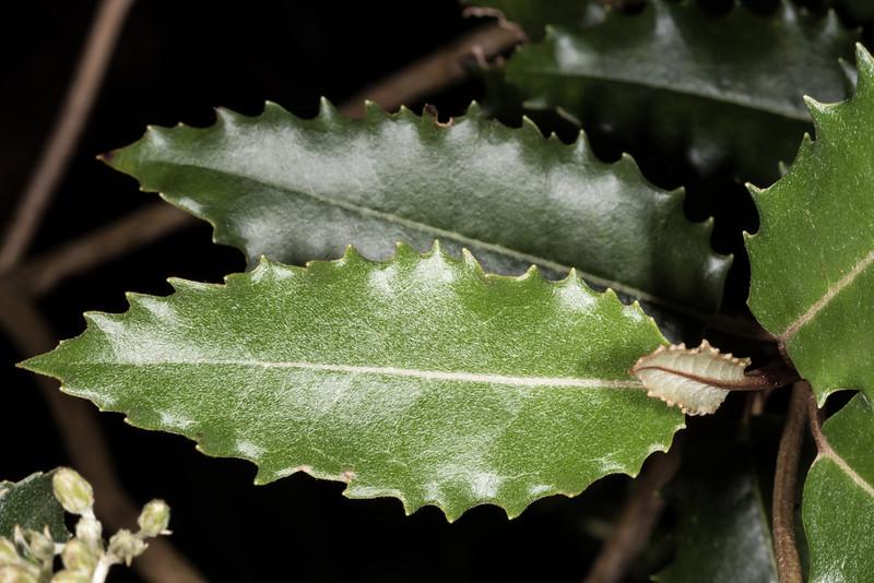 Mountain holly / hakeke (Olearia ilicifolia). Dunedin Botanic Garden.