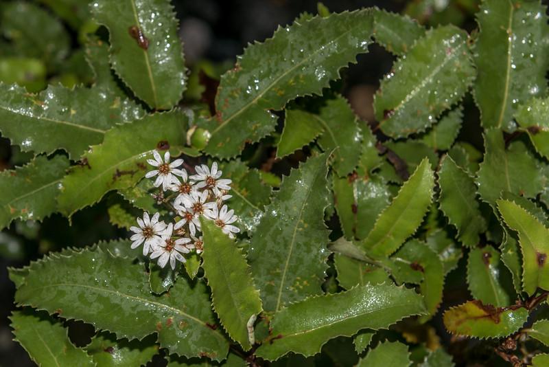 Mountain holly (Olearia ilicifolia). MacKay Lake, Fiordland