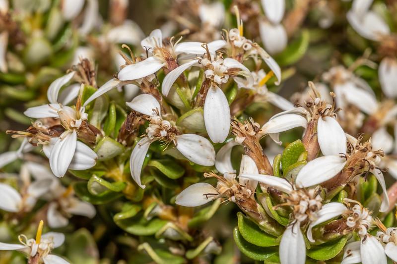 Olearia nummulariifolia. Skippers Range, Fiordland National Park.
