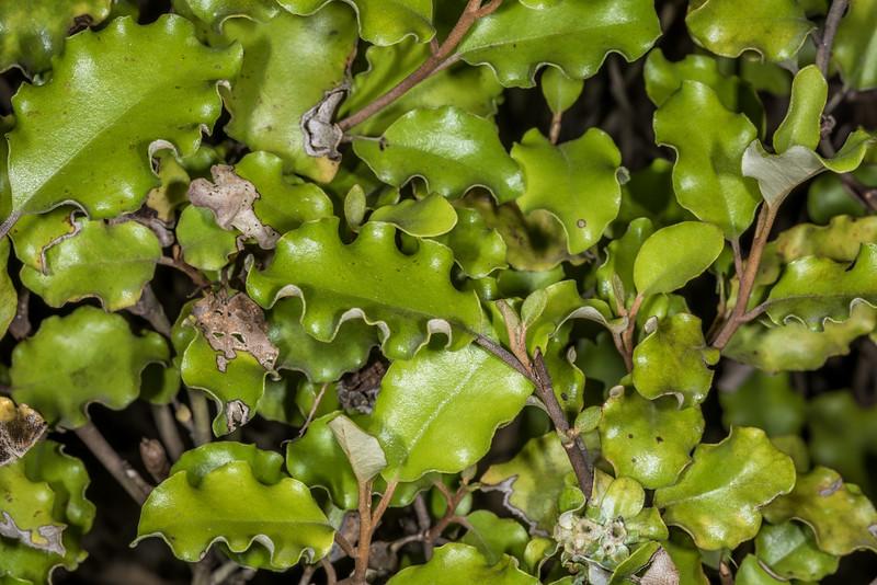 Golden akeake / akiraho (Olearia paniculata), detail of trimmed hedge. Opoho, Dunedin.