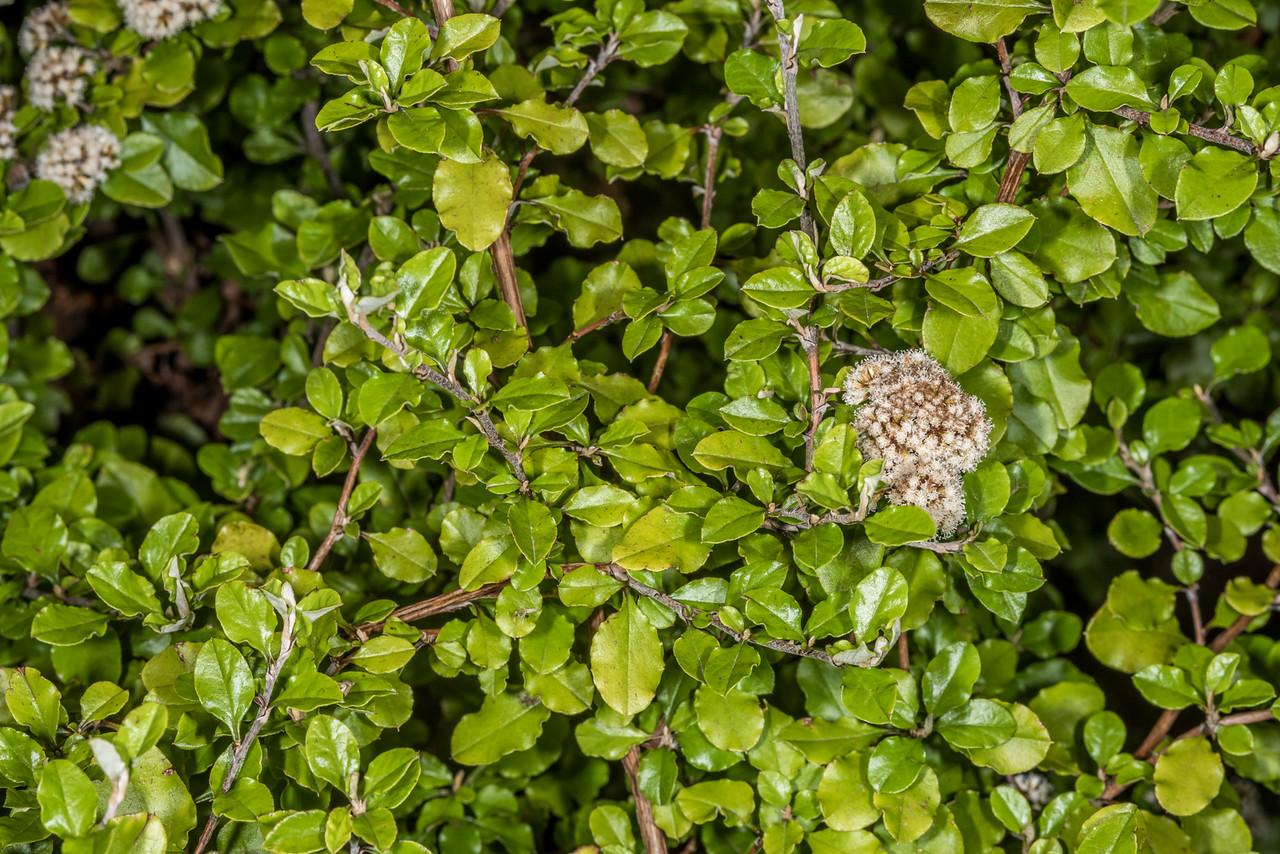 Olearia quinquevulnera. Dunedin Botanic Garden.